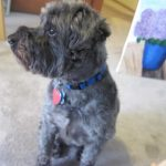 The Schnoodle Strikes a Thoughtful Pose
