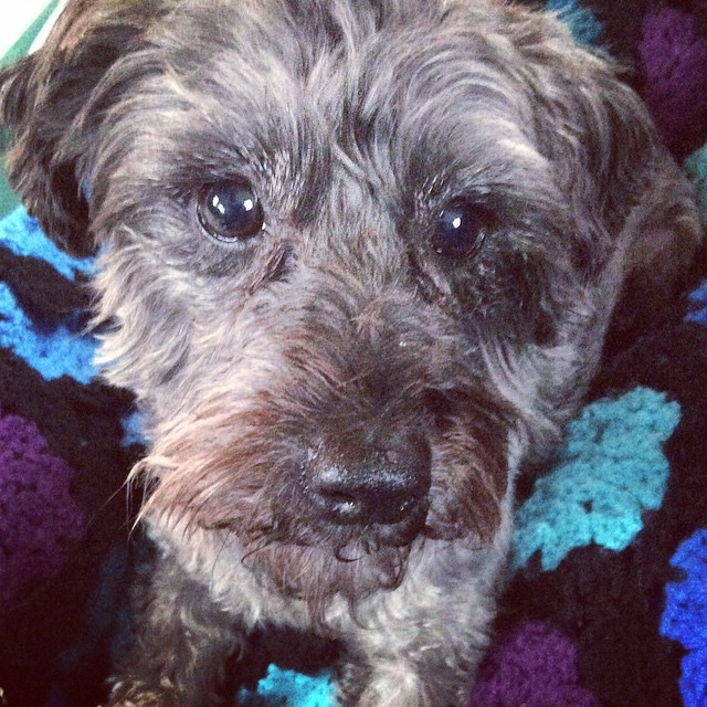 The #Schnoodle wonders how long I'll be working today. #lets play #dogsrule