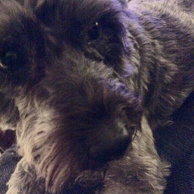 Extreme #Schnoodle closeup