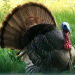 Hey Pretty Turkey
