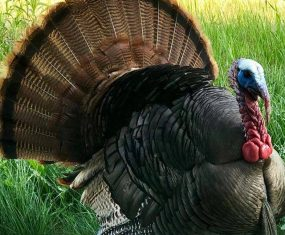 Hey Pretty Turkey